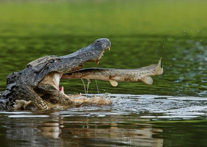 какво яде крокодила?